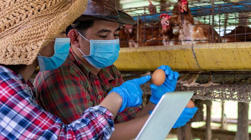 Two Asian farmers inspect and record the quality data of the chicken eggs
