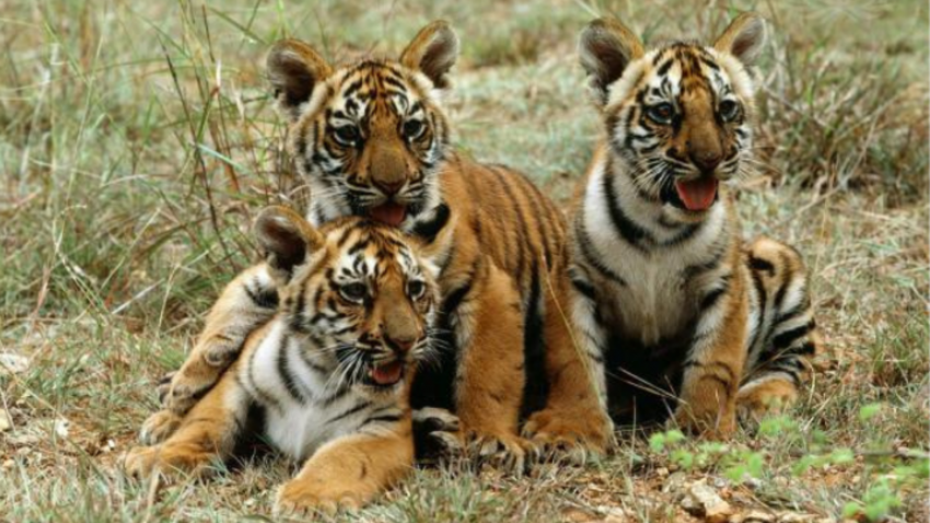 Tiger cubs in Mysore, India.