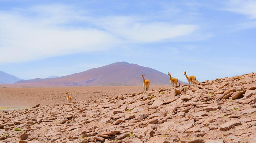 Vicuñas, an animal species endemic to the highlands of the South American Andes, were exploited to near extinction until they were listed in Appendix I of the CITES Convention in 1975. © Carolyn/Pexels