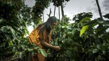 Indigenous woman is tending to plants