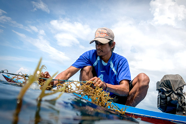 Man harvesting seaweed from a small boat.