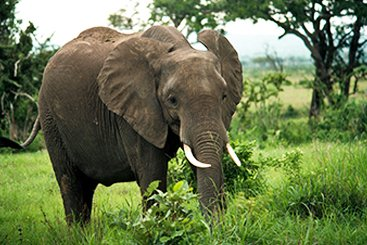 Adult elephant roams in the Mikumi National Park in Tanzania.